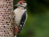Great Spotted Woodpecker - on nut feeder