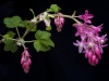 Flowering redcurrant
