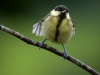 young-great-tit